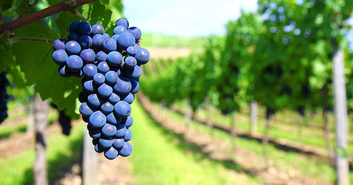Rượu Vang đỏ Apollo Negroamaro và những điều thú vị 1